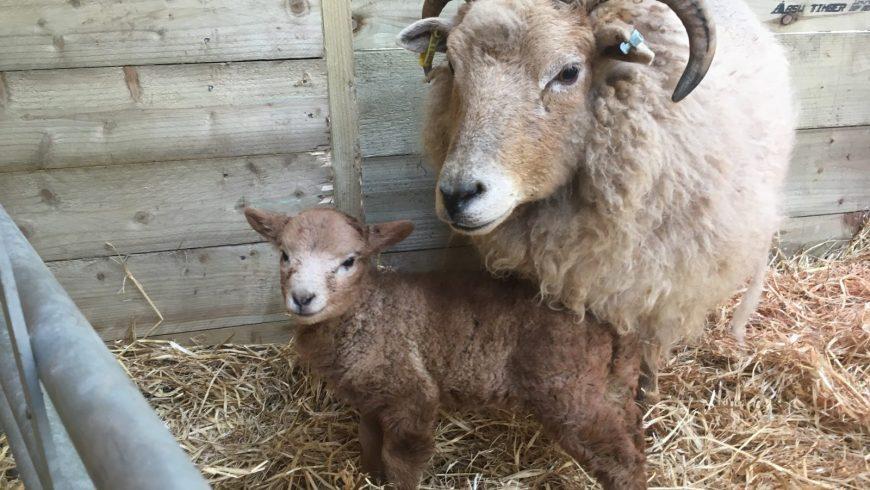 Lambing!